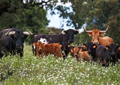 Semental, vacas y crías Nada sucede sin antes ser un sueño