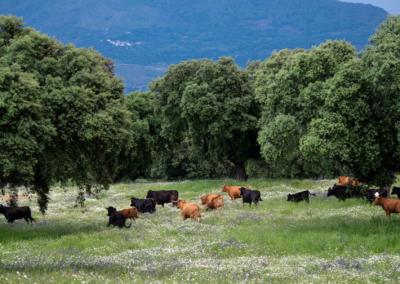 Lote de vacas Nada sucede sin antes ser un sueño