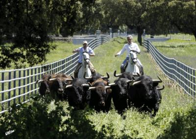 Ejercitando los toros Nada sucede sin antes ser un sueño